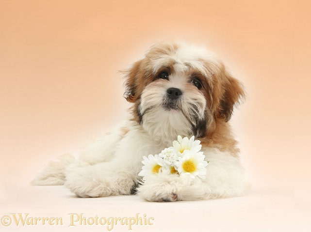 Maltese x Shih-tzu pup, Leo, 13 weeks old, lying with head up with daisy flowers