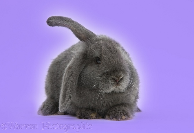 Blue-grey floppy-eared rabbit on lilac background