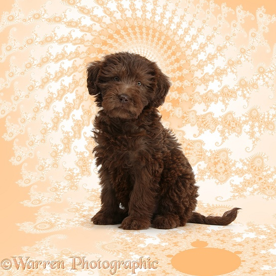 Chocolate Labradoodle puppy, 9 weeks old, sitting on Mandelbrot background