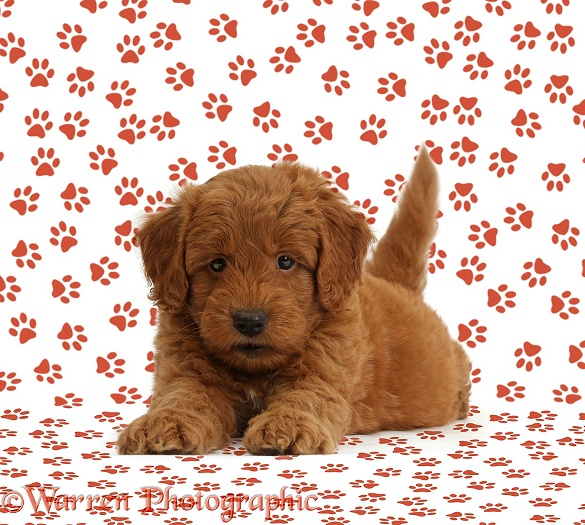 Cute red F1b Goldendoodle puppy on paw print background, white background