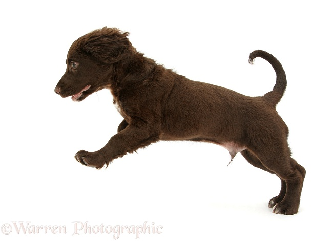 Chocolate Cocker Spaniel puppy pouncing, white background