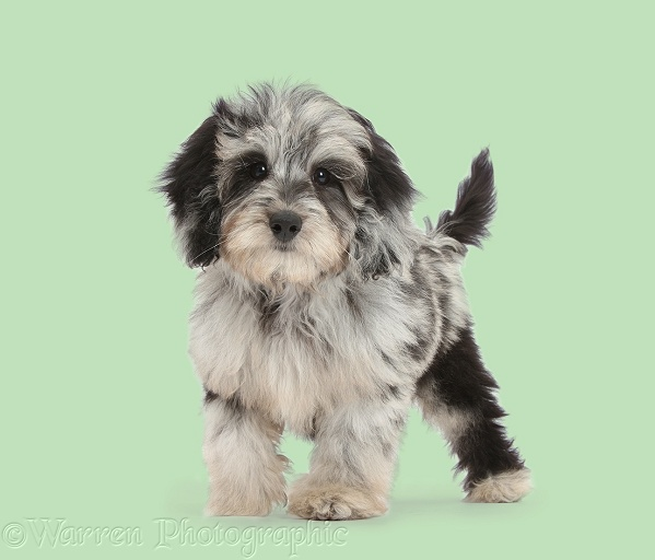 Fluffy black-and-grey Daxie-doodle pup, Pebbles, standing on green background