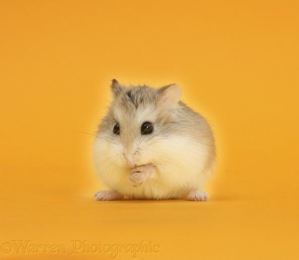 Roborovski Hamster on yellow-orange background photo WP39697