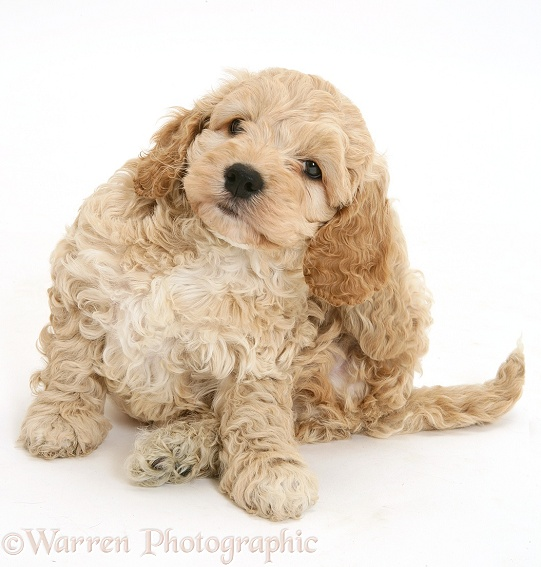 American Cockapoo scratching an ear, white background