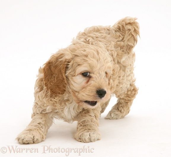 Playful American Cockapoo puppy, white background