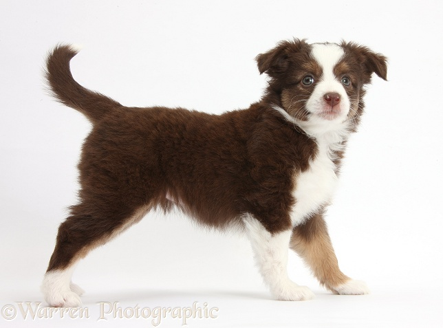 Chocolate-and-white Miniature American Shepherd puppy, 6 weeks old, standing, white background