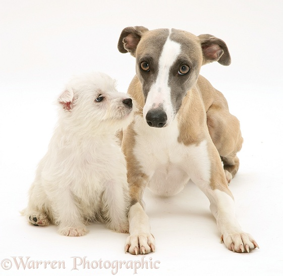 Whippet and cute Westie puppy, white background