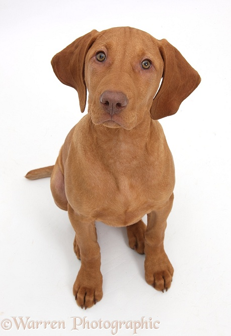 Hungarian Vizsla puppy, 13 weeks old, sitting and looking up, white background
