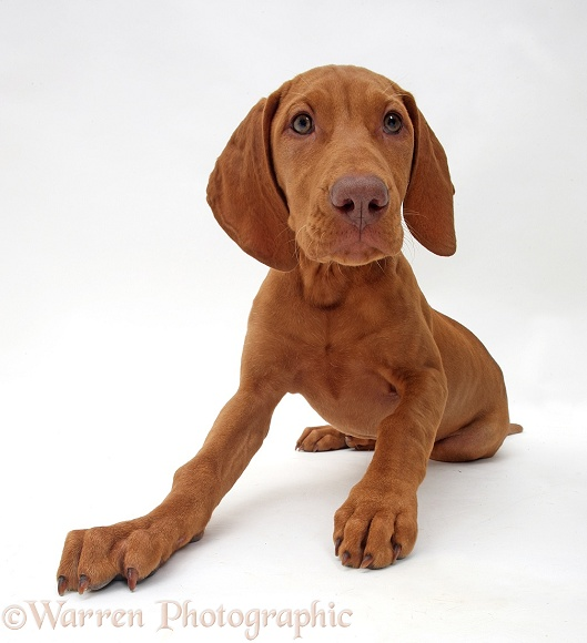 Hungarian Vizsla puppy, 13 weeks old, white background