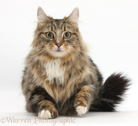 Tabby Maine Coon male cat, Jaffa, lying with head up, white background