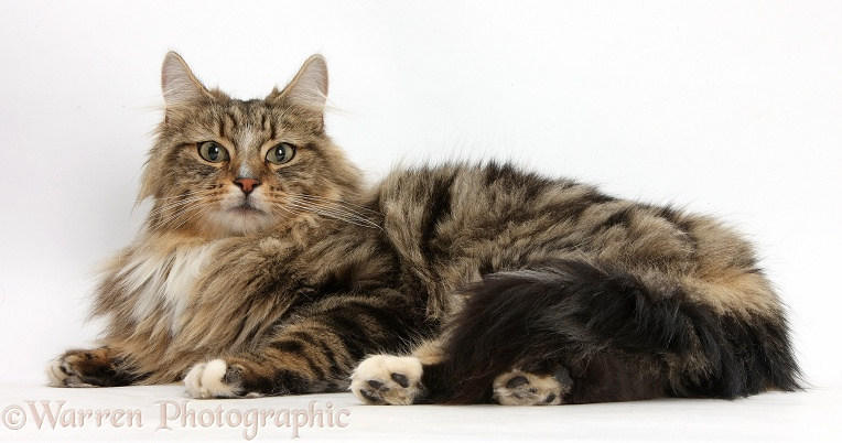 Tabby Maine Coon male cat, Jaffa, lying down, white background