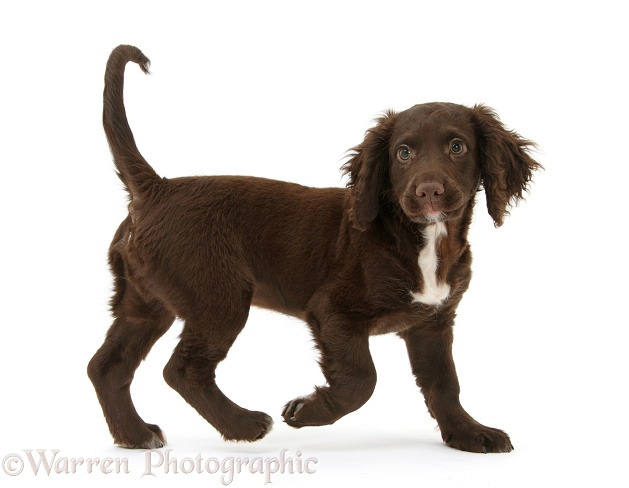 Chocolate Cocker Spaniel puppy walking across, white background