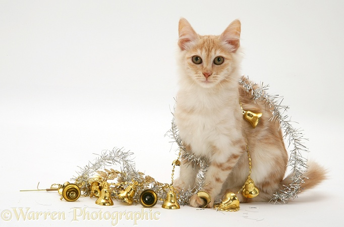 Red silver Turkish Angora cat with Christmas tinsel and bells, white background