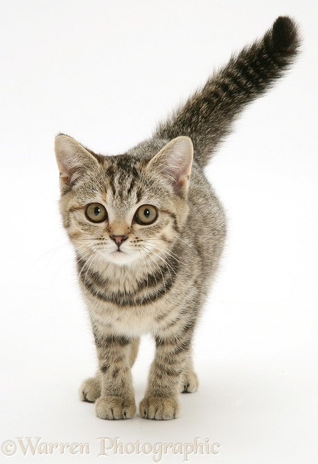 Brown spotted tabby kitten, walking forward with tail erect, white background