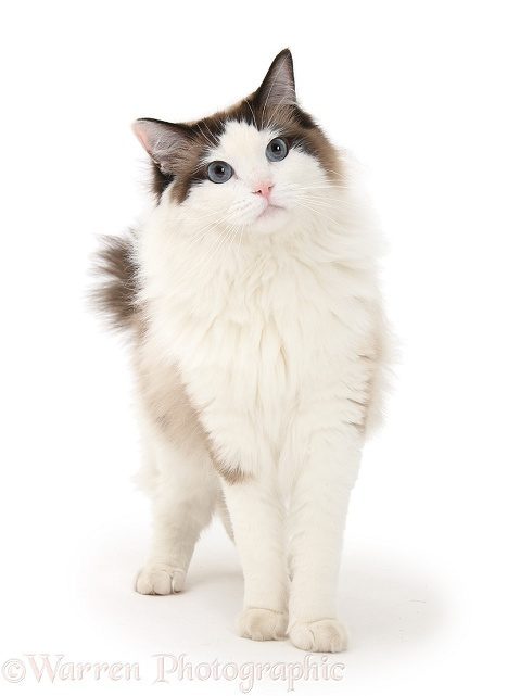 Ragdoll male cat, Loxley, standing, white background