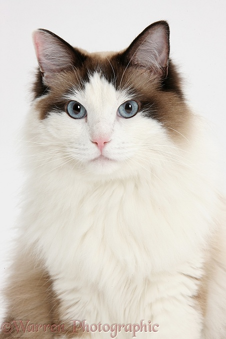 Ragdoll male cat, Loxley, white background