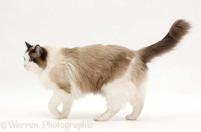 Ragdoll male cat, Loxley, walking across, white background