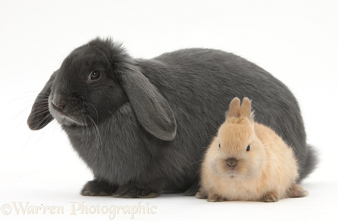 Blue lop rabbit and baby Netherland Dwarf bunny, white background