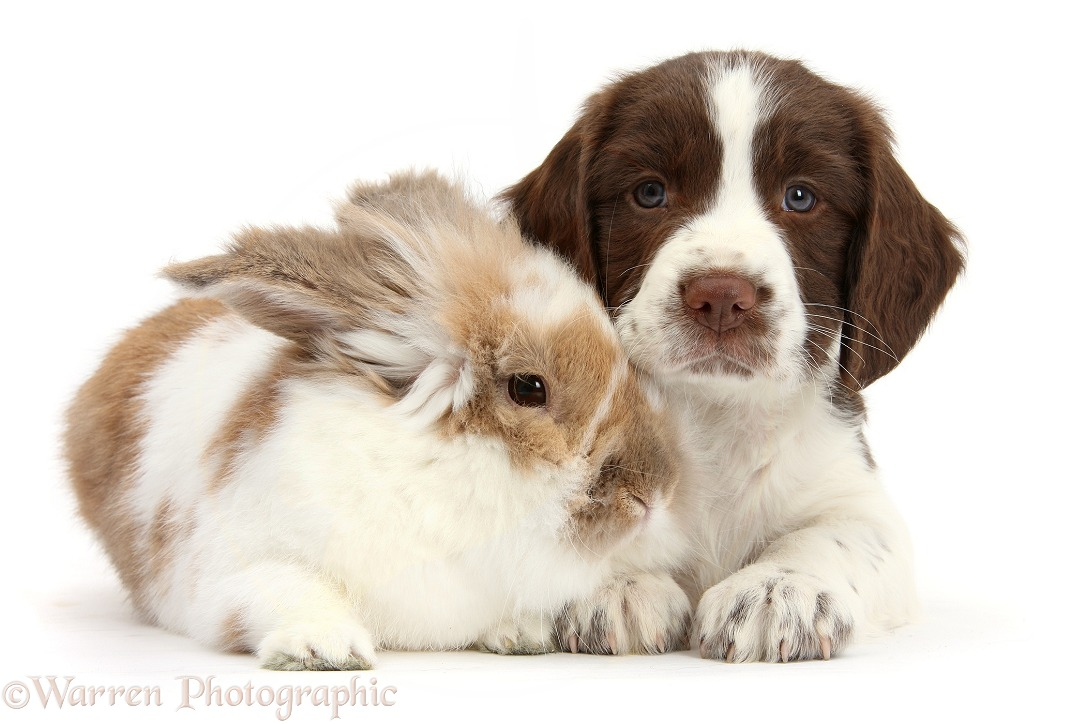 Working English Springer Spaniel puppy, 6 weeks old, with brown-and-white rabbit, white background