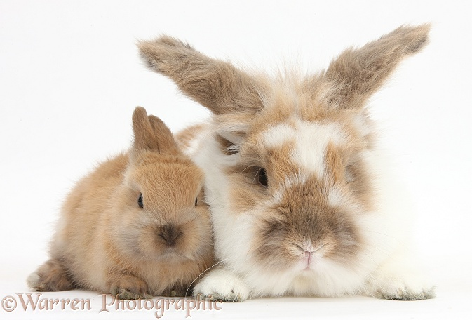 Brown-and-white rabbit and baby, white background