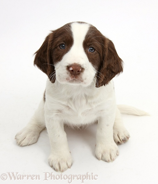 Working English Springer Spaniel puppy, 6 weeks old, sitting and looking up, white background