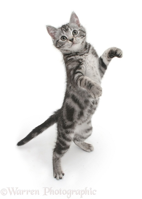 Silver tabby kitten standing and reaching up, white background