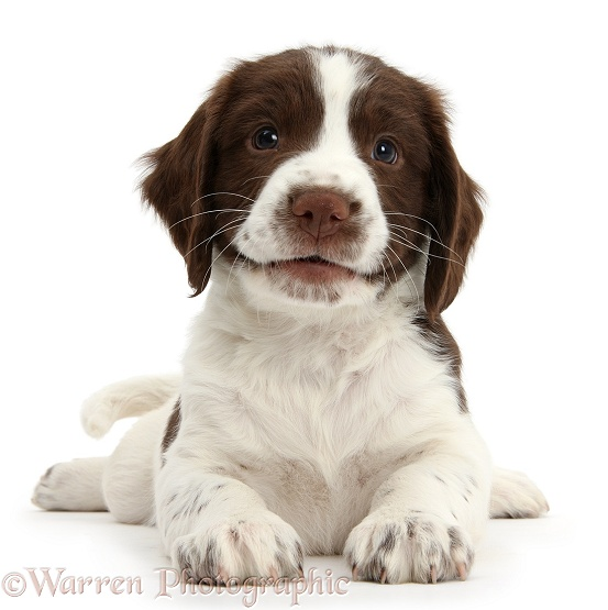 Working English Springer Spaniel puppy, 6 weeks old, lying with head up, white background