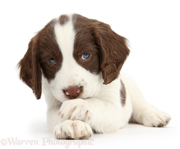 Working English Springer Spaniel puppy, 6 weeks old, lying with crossed paws, white background