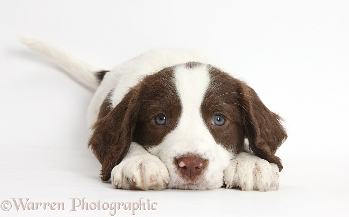 Working English Springer Spaniel puppy, 6 weeks old, lying with chin on the floor, white background