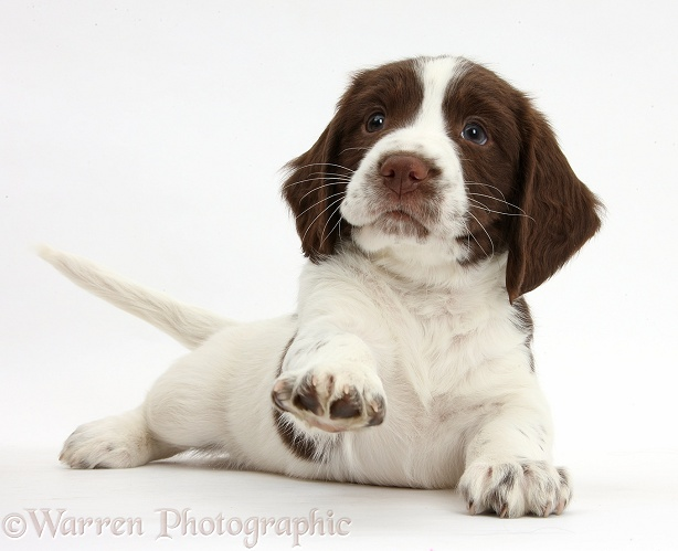 Working English Springer Spaniel puppy, 6 weeks old, lying with head up and pointing a paw, white background