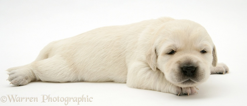 Cute baby Yellow Goldador Retriever puppy, still with eyes closed, white background