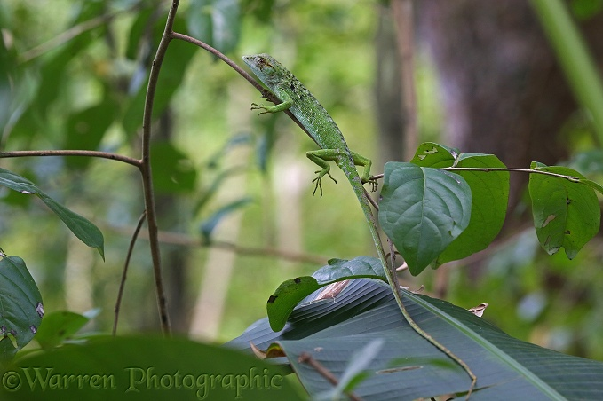 Anolis lizard (Anolis richardii) immature in rainforest