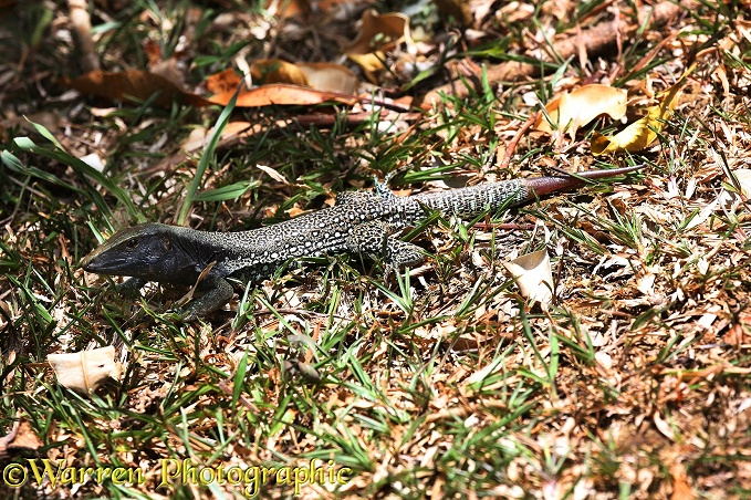 Common Ameiva Lizard (Ameiva ameiva) male showing tail regeneration