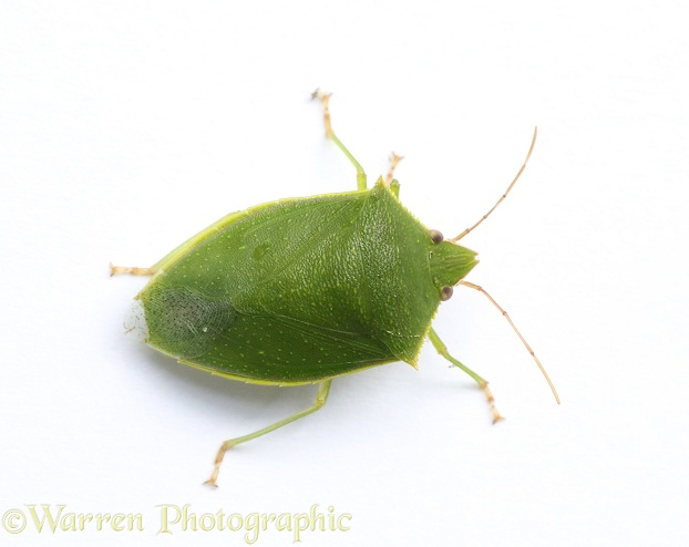 Green Shieldbug (unidentified), white background