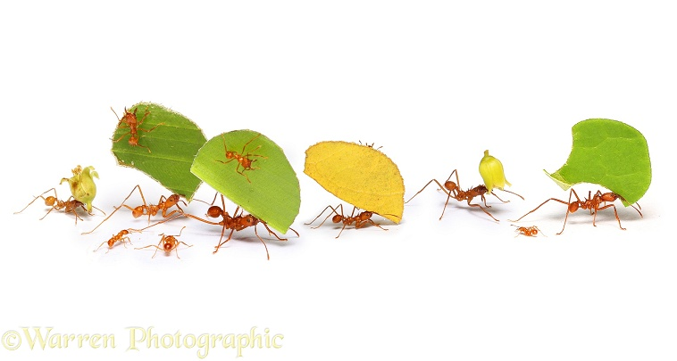 Leaf-cutting Ants or Bachacs (Atta cephalotes) carrying leaf sections and flower heads, white background