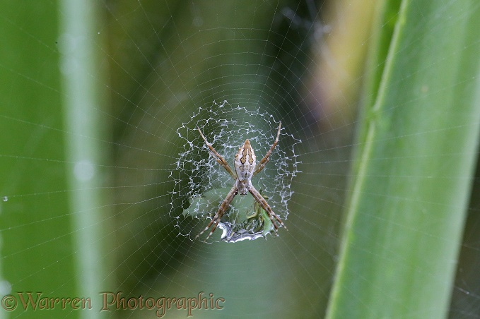 Silver Argiope Spider (Argiope argentata) juvenile with raindrop trapped in its stabilimentum