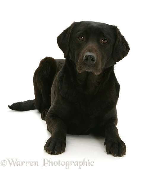 Black Labrador, Jessie, lying with head up, white background