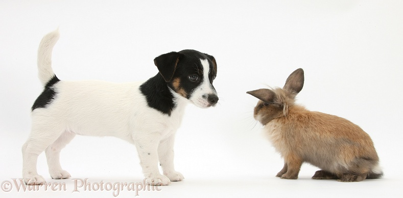 Jack Russell Terrier pup, Rubie, 9 weeks old, with a young Lionhead rabbit, white background