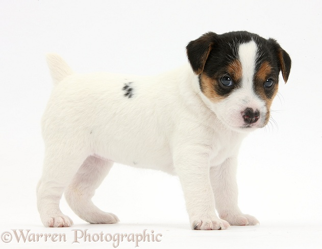 Jack Russell Terrier puppy, 4 weeks old, standing, white background