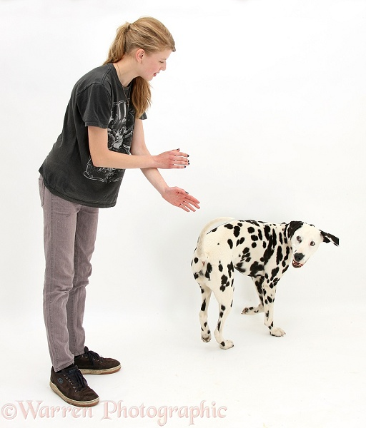Lady teaching Dalmatian dog, Barney, 6 years old, to do the spin trick, white background