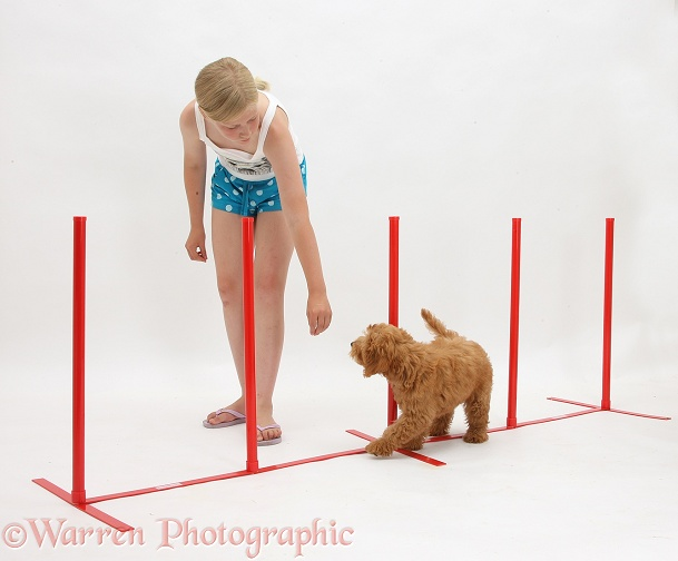 Siena teaching Goldendoodle puppy agility weaving between posts, white background