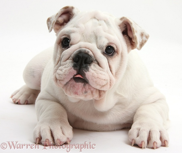 Mostly white Bulldog puppy, 12 weeks old, white background