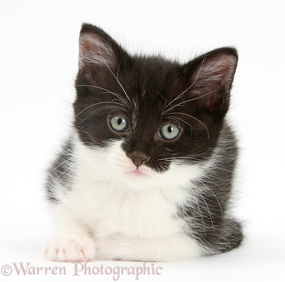Black-and-white kitten, lying with head up, white background