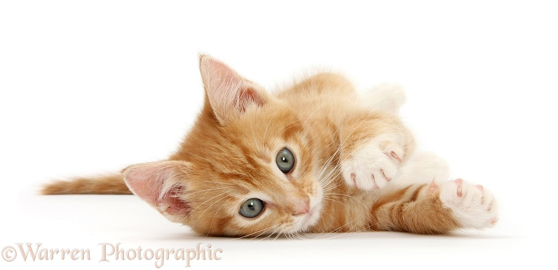 Ginger kitten, Tom, 8 weeks old, rolling playfully on his side, white background