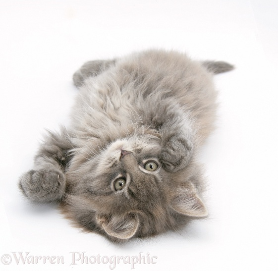 Maine Coon kitten, 8 weeks old, lying on its back, looking up in a playful manner, white background