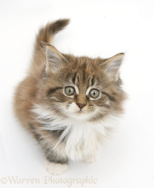 Maine Coon kitten, 7 weeks old, sitting looking up, white background