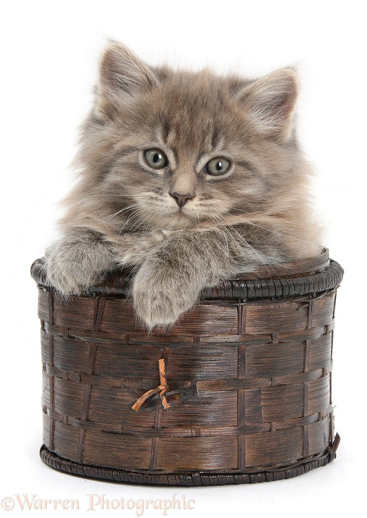 Maine Coon kitten, 7 weeks old, in a basket, white background