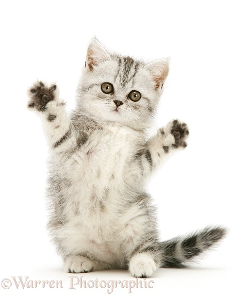 Silver tabby kitten reaching out, white background