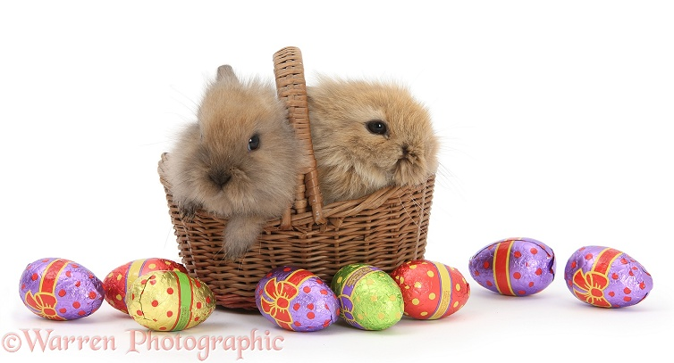 Two baby Lionhead-cross rabbits in a wicker basket with easter eggs, white background