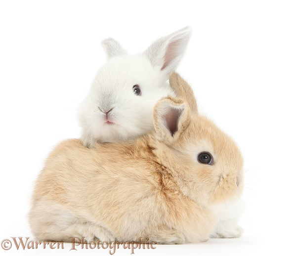 White and sandy baby rabbits, white background